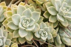 Elegans Echeveria, орнаментальный кактус стоковая фотография