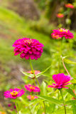 Elegans roxos do Zinnia foto de stock