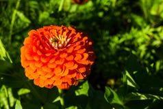 Elegans Zinnia красивого конца-вверх оранжевые цветут в весеннем сезоне на ботаническом саде Стоковая Фотография RF