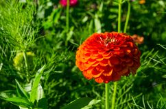 Elegans Zinnia красивого конца-вверх оранжевые цветут в весеннем сезоне на ботаническом саде Стоковое Изображение RF