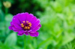 Elegans Zinnia красивого конца-вверх темные фиолетовые цветут в весеннем сезоне на ботаническом саде Стоковое Фото