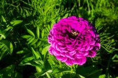 Elegans Zinnia красивого конца-вверх фиолетовые цветут в весеннем сезоне на ботаническом саде Стоковая Фотография