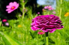 Elegans Zinnia красивого конца-вверх фиолетовые цветут в весеннем сезоне на ботаническом саде Стоковое Изображение RF