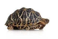 elegansgeocheloneindier starred sköldpaddan royaltyfria foton