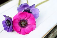 Elegant anenome posy. Three colourful anemones in a simple bouquet on a white wooden tray , shallow depth of field stock images