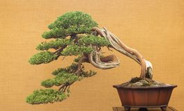 Elegant antique bonsai on yellow background royalty free stock images