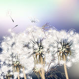 Elegant background with dandelions. Royalty Free Stock Photo