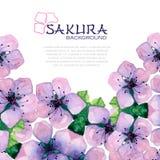 Elegant bakgrund för vattenfärg med japan sakura Fotografering för Bildbyråer
