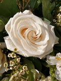 Large open white rose in garden close up 2 royalty free stock photography
