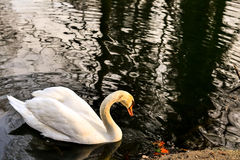 An elegant beautiful and majestic white swan swimming in dark waters Stock Photos