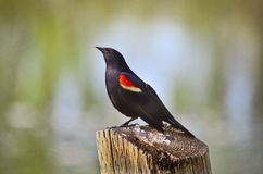 Elegant bird Royalty Free Stock Images