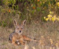 The elegant Black-backed Jackal Stock Image