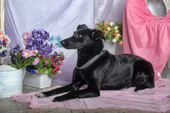 Elegant black dog Royalty Free Stock Photo