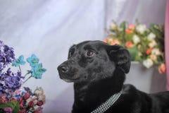 Elegant black dog Stock Photo