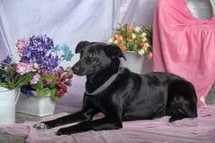 Elegant black dog Stock Images