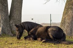Elegant black frisian horse sitting in the grass stock photos