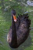 Elegant black swan Royalty Free Stock Photos