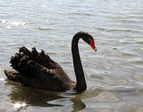 Elegant black swan with the long neck in the pond Royalty Free Stock Images