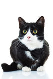 Elegant black and white cat wearing bowtie Stock Photos
