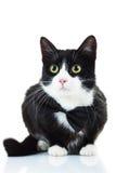 Elegant black and white cat wearing bowtie Stock Photos