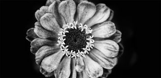 Elegant black white floral background Zinnia flower. Macro view selective focus monochrome photography, up view Royalty Free Stock Photos