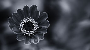 Elegant black white floral ornamental background. Blooming Zinnia flower close-up photography. Selective focus. Stock Photo