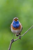 Elegant Bluethroat singing on a branch Royalty Free Stock Image