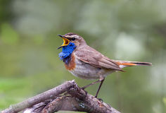 Elegant Bluethroat singing on a branch Stock Photography
