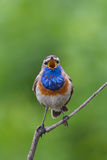 Elegant Bluethroat som sjunger på en filial Royaltyfri Bild