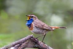 Elegant Bluethroat som sjunger på en filial Arkivbild
