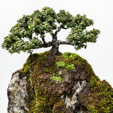 Elegant Bonsai Tree on Mossy Rock against White Background Royalty Free Stock Photos