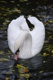 The elegant bow of a swan Stock Image