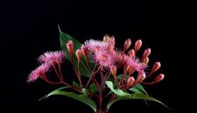 Elegant bukett av rosa eukalyptusblommor som isoleras på svartbac Arkivbild