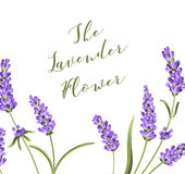 Elegant card with lavender flowers. Stock Photos