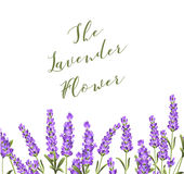 Elegant card with lavender flowers. Stock Images