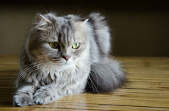Elegant cat Royalty Free Stock Photos