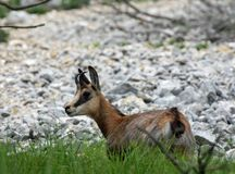 Elegant chamois with horns on his head, surrounded by high mount Royalty Free Stock Images