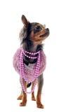 Elegant chihuahua Stock Images