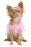 Elegant chihuahua bride with pink dress. And pearls on its head Royalty Free Stock Image