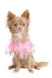 Elegant chihuahua puppy in pink. Chihuahua dressed in pink like a little princess Royalty Free Stock Photo
