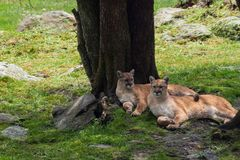 Elegant cougars sitting side by side in nature habitat. royalty free stock photography