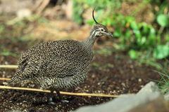 Elegant crested tinamou Stock Photography
