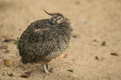 Elegant Crested Tinamou Stock Photography Image 24046712