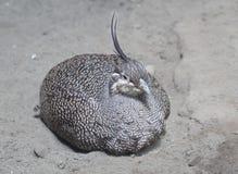 Elegant Crested Tinamou Stock Image