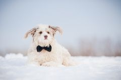 Elegant cute dog wearing a tie Royalty Free Stock Image