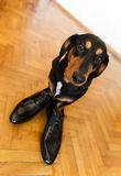 Elegant dachshund dog in leather men shoes Royalty Free Stock Photography