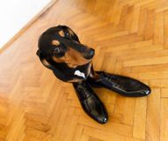 Elegant dachshund dog in leather men shoes Stock Photography