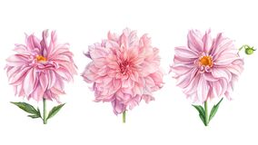 Elegant dahlias set of pink flowers on isolated white background, watercolor illustration, collection, greeting cards