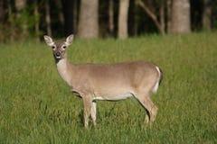 Elegant Deer. Deer posing for a picture Stock Photos