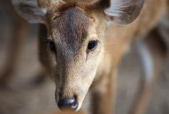 Elegant deer brown color, Thailand Royalty Free Stock Photos
